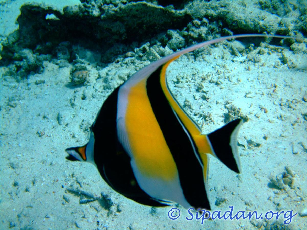 Sipadan bannerfish for Moorish idol fish