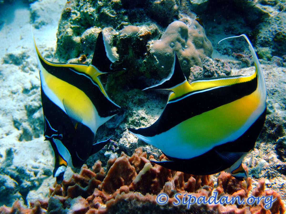 Moorish idol 5