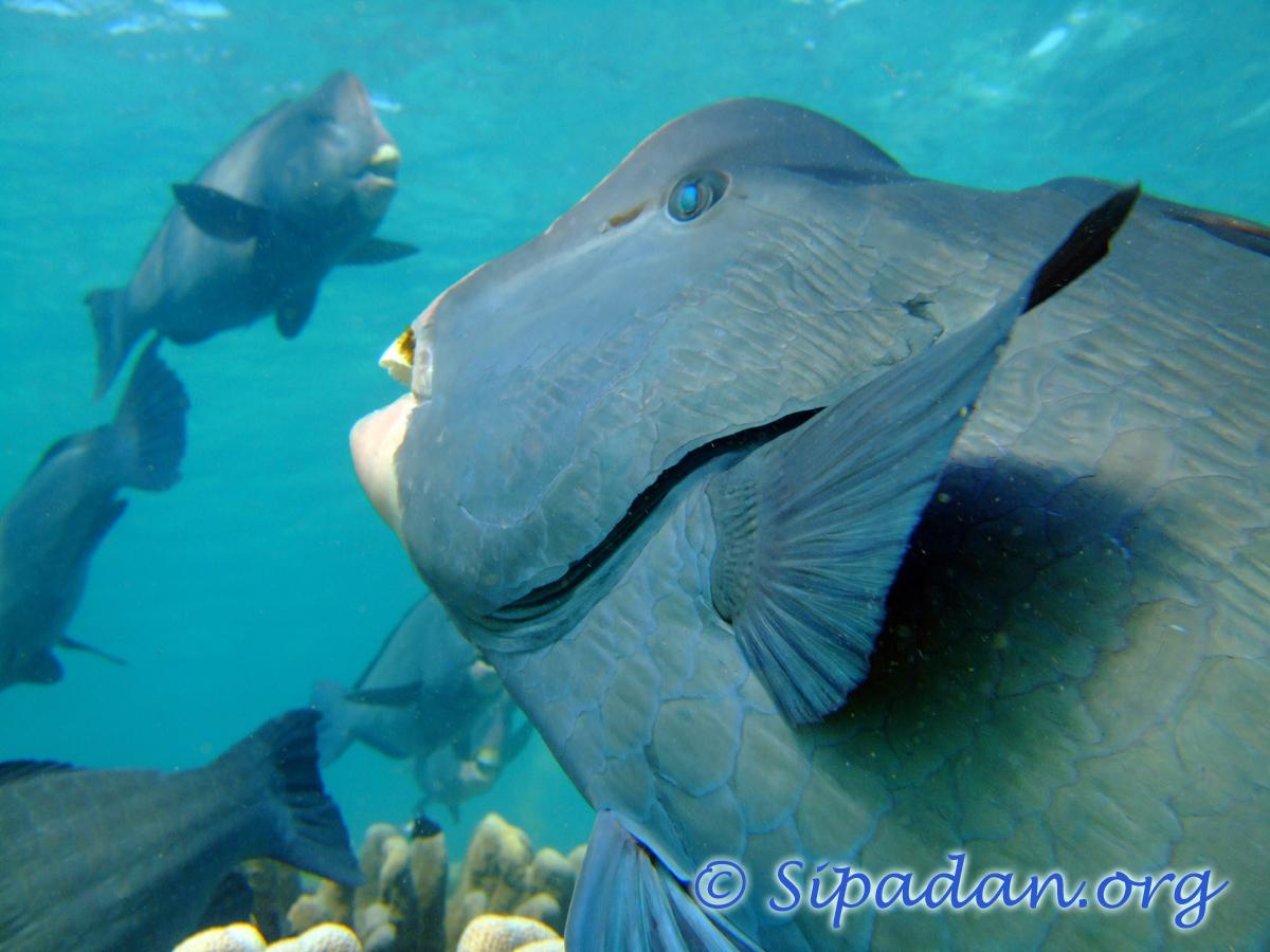 Sipadan : Bumphead parrotfish
