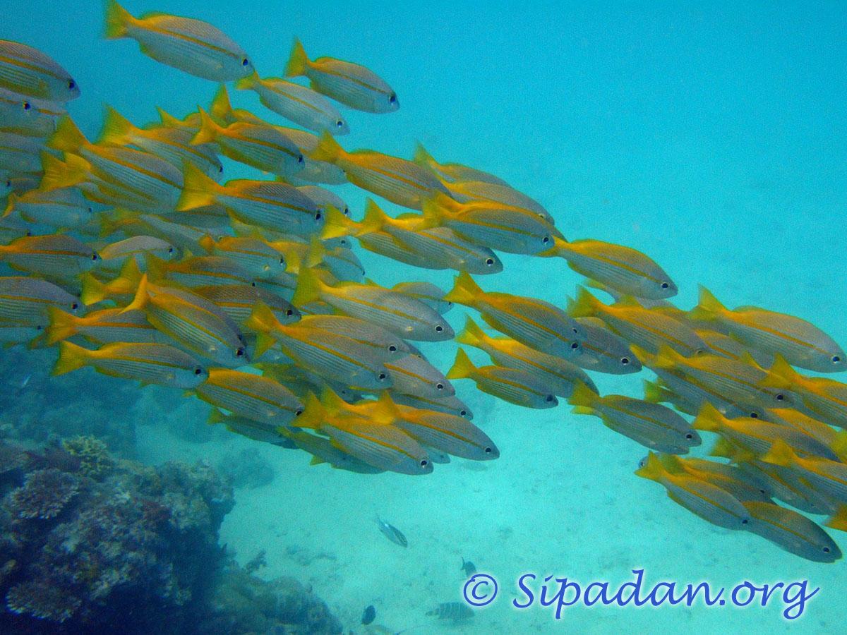 Sipadan fish group for Fish fish fish fish fish