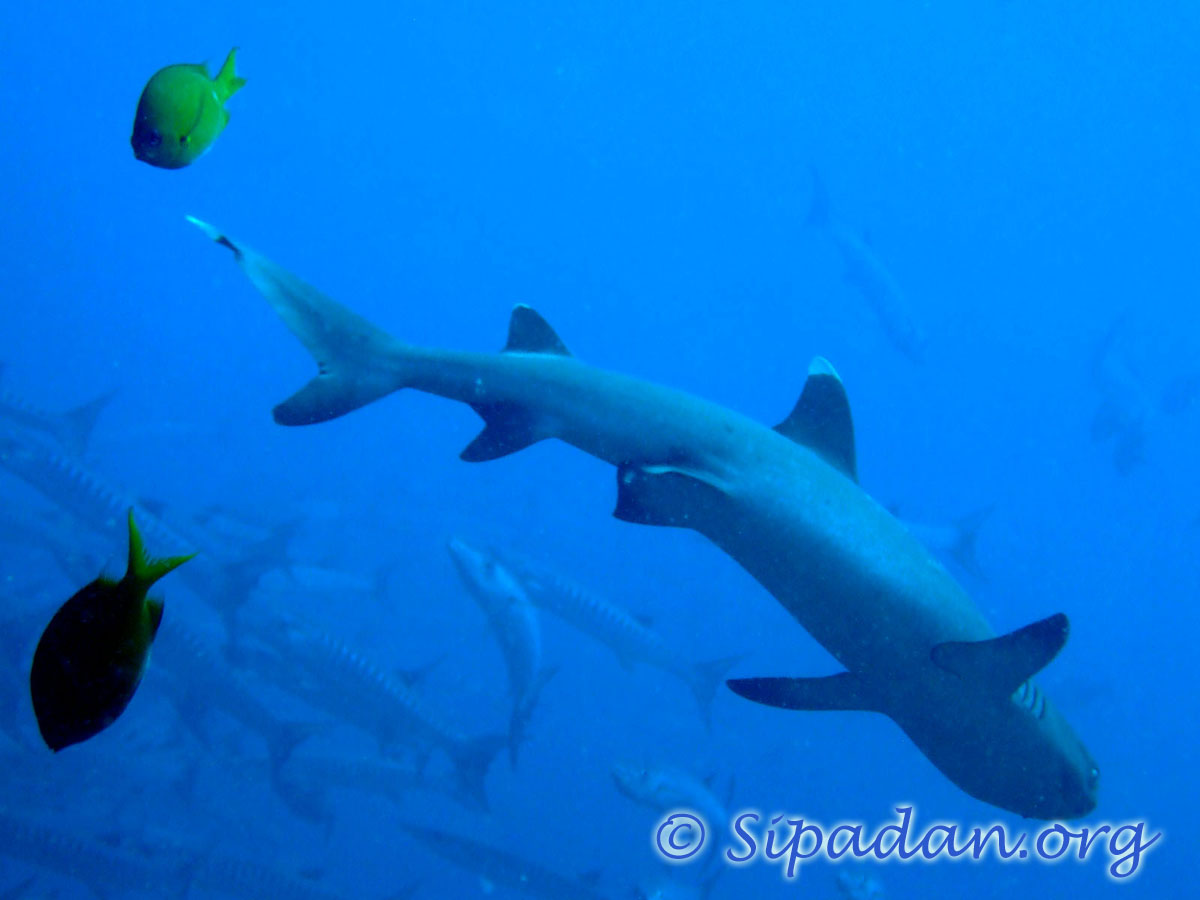 White tip shark  1