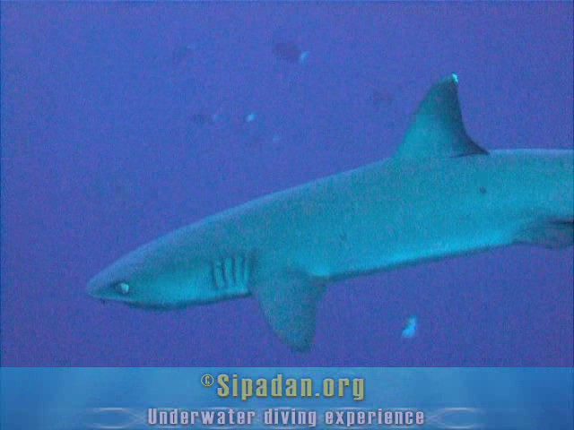 White tip shark 2