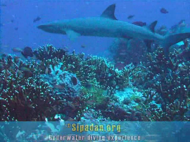 White tip shark 3